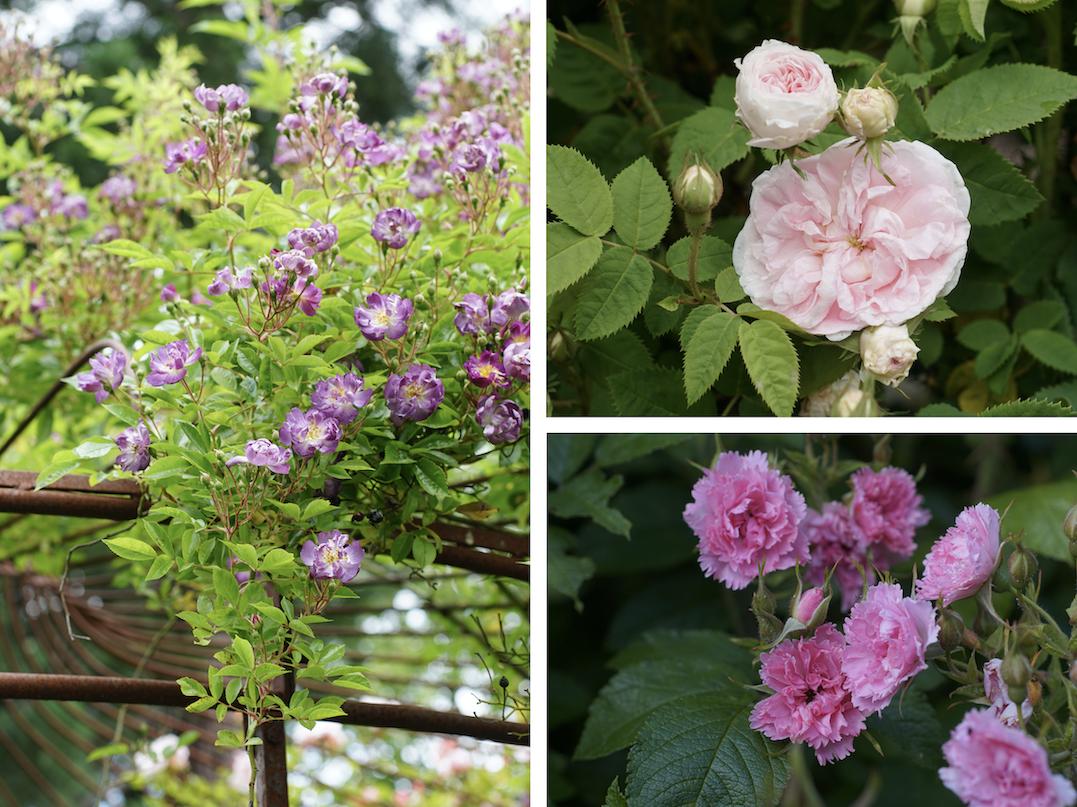 Veilchenbleau, Cuisse de Nymphe Emue et Pink Grootendorst - Roses Guillot®