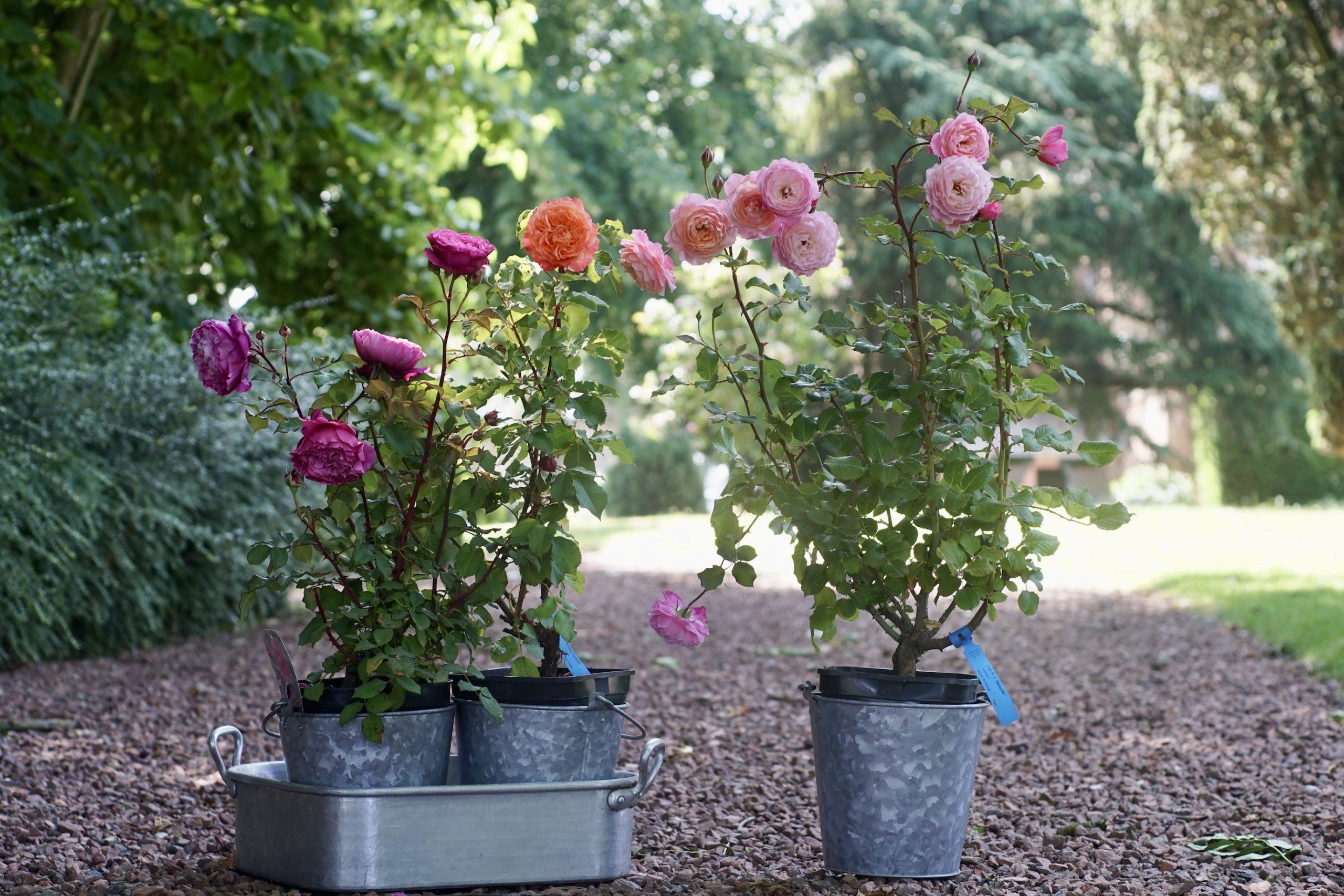 Rosiers en pot Ventilo, Emilien Guillot et Prix PJ.Redouté - ©Roses Guillot®