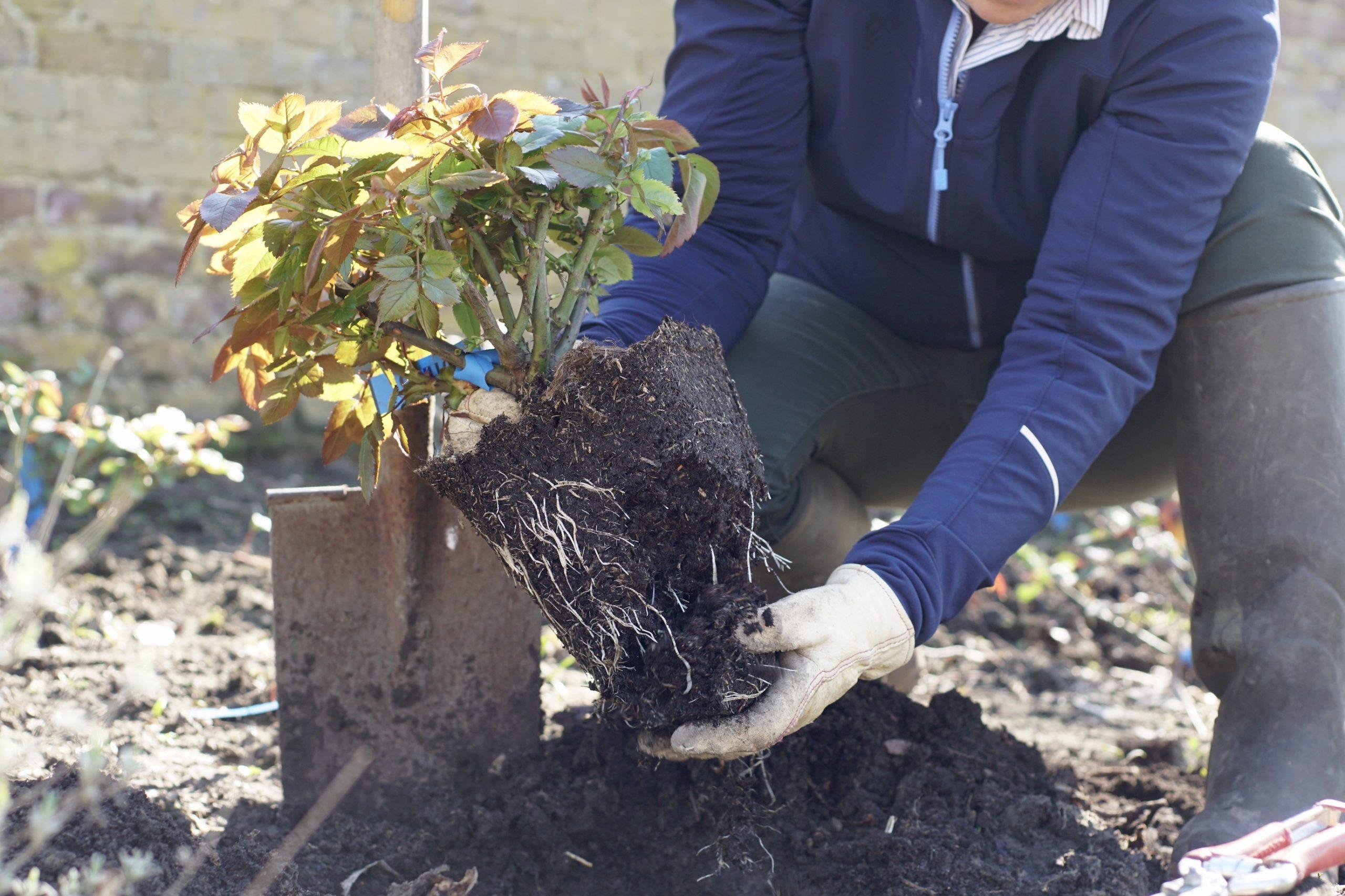 Rosiers en pot, rafraichir les racines - ©Roses Guillot®