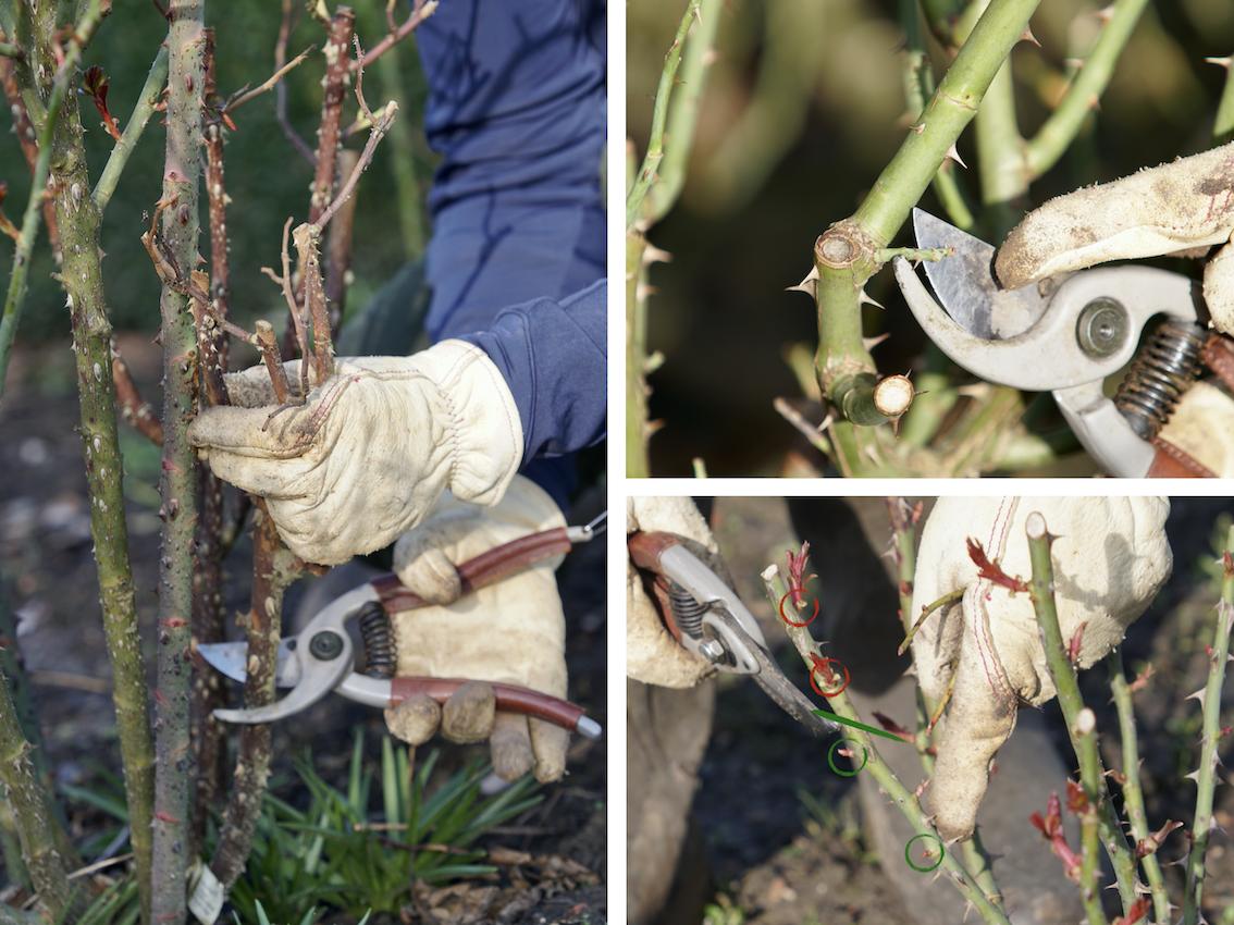 Taille des rosiers : retirer le bois mort et les dards, et favoriser les bourgeons extérieurs - Roses Guillot®