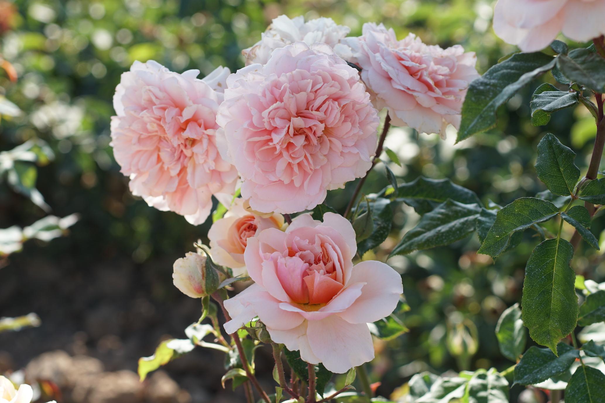 Rosier Versigny®, chiffonnée - Roses Guillot®