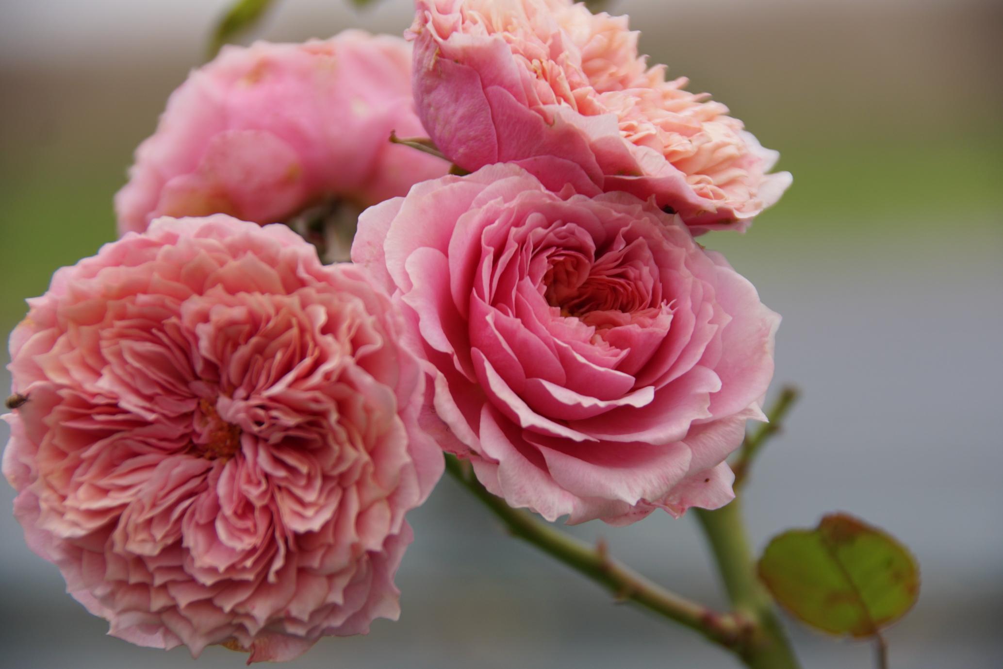 Rosier William Christie®, à quartiers - Roses Guillot®