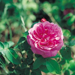 Chaque année, les rosiers en pot prennent la relève des racines nues !