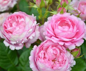 rosier-parfume-generosa-chantal-merieux