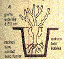 Planter un rosier en racines nues