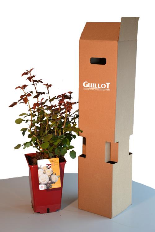 Un rosier en pot Guillot® et son conditionnement dédié.