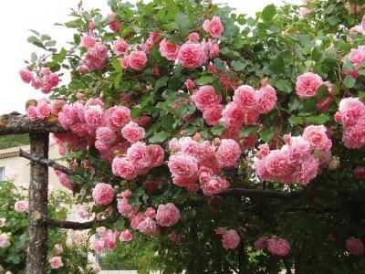 Les 20 meilleurs rosiers préférés des jardiniers