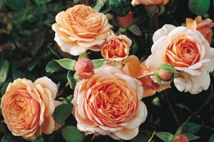 rosier-parfumé-generosa-elisabeth-stuart