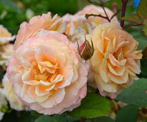 rosier-generosa-parfume-fiona-gelin