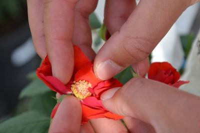 Hybridation : comment créer votre rosier