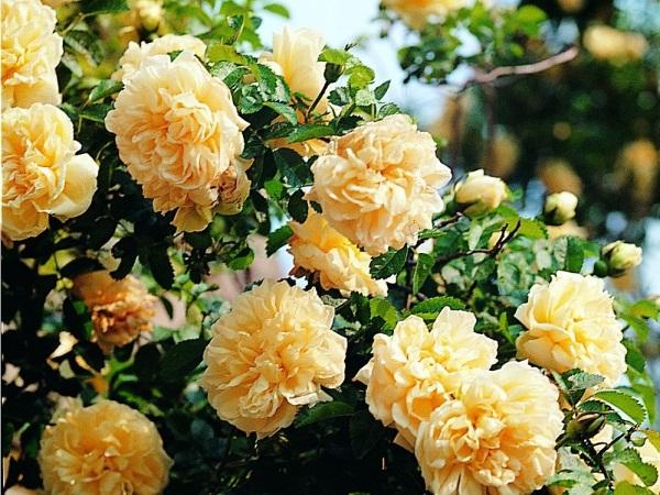 Comment planter les rosiers en racines nues?