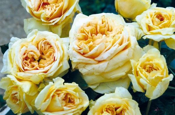 Rosiers grandes fleurs, découvrez-les