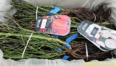 Les rosiers à racines nues de la roseraie Guillot emballés avec soin