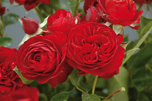 rosier-fleurs groupees-rose-brouilly-rouge-fonce