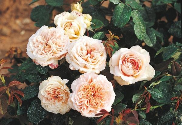 Le pralinage des racines de rosiers favorise la reprise