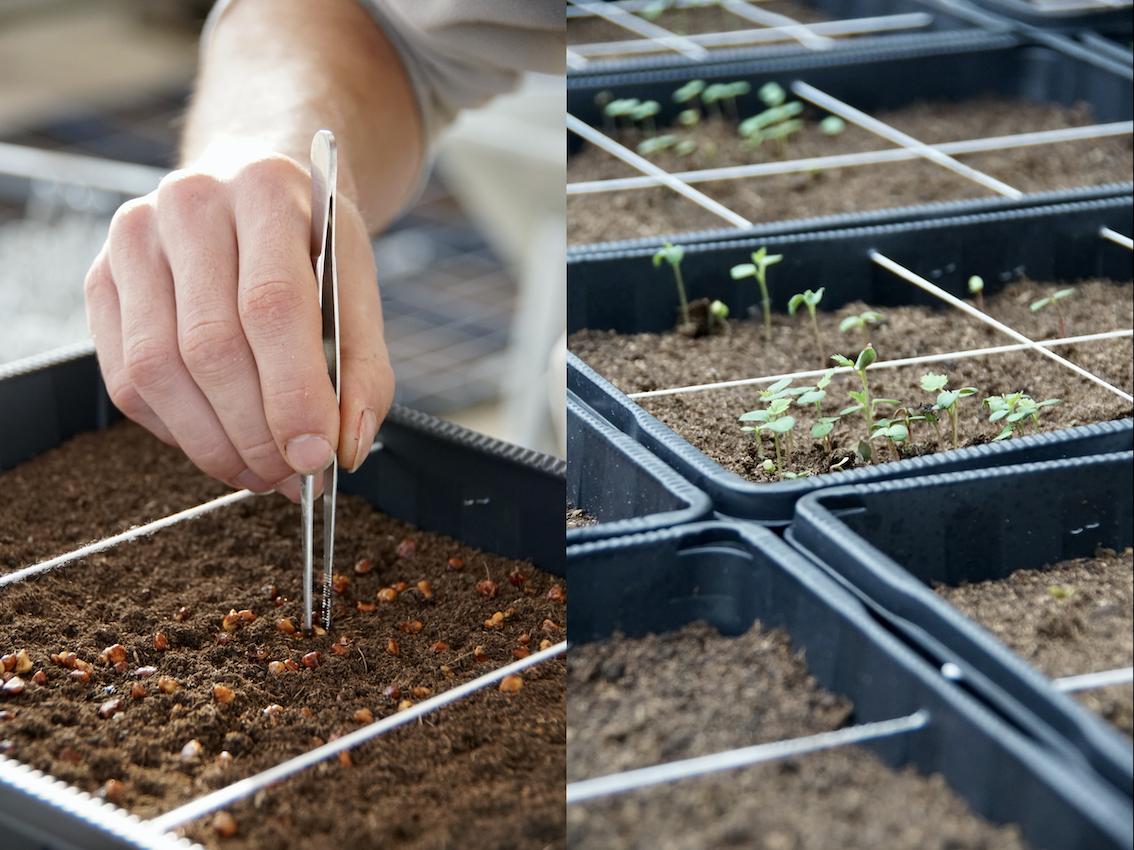 Semis et germination des graine issues d'hybridation- ©Roses Guillot®