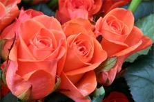 Le savoir faire Guillot, créateur de roses