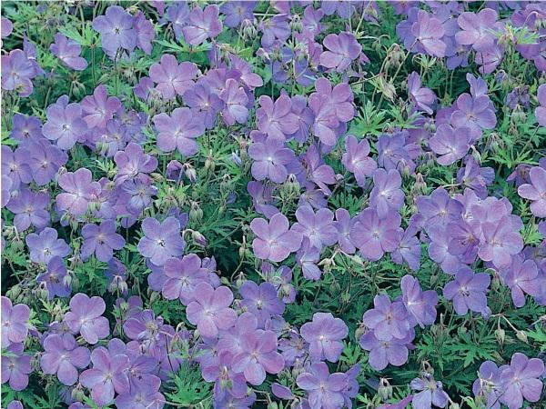 Geranium vivace Johnsons Blue, une excellente plante vivace couvre-sol