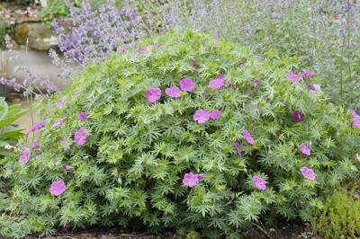 Planter des vivaces au jardin geranium vivace sanguin Roseraie Guillot
